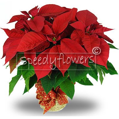 Ask now for the home delivery service of this Poinsettia