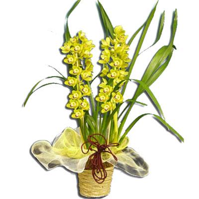 Vendita piante orchidee online for Orchidea foglie gialle