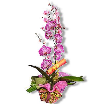 Vendita piante orchidee online for Orchidea pianta