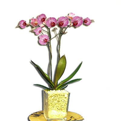 piante orchidee piante di orchidee orchidee orchidee piante eleganti piante d appartamento le. Black Bedroom Furniture Sets. Home Design Ideas