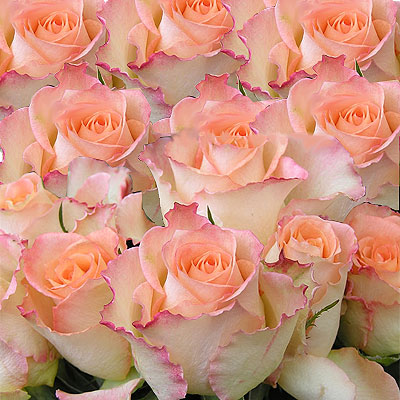 Fifty pink Roses