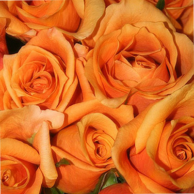 One hundred orange Roses