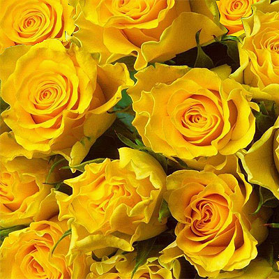 One hundred yellow Roses