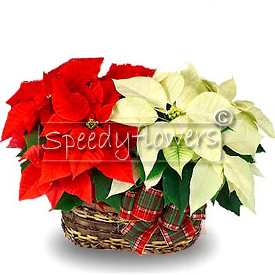 Poinsettia basket mix Color