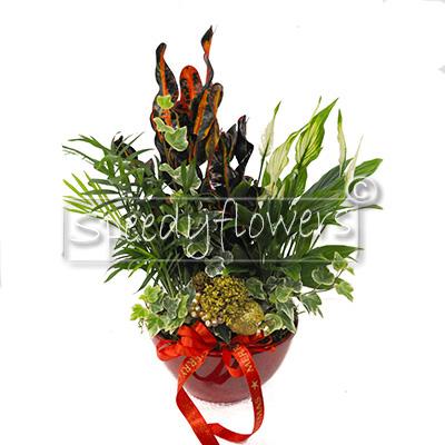 Composizione Natalizia con piante verdi ornamentali