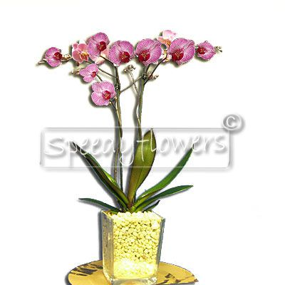 Orchid plant, excellent gift for the Mother's Day