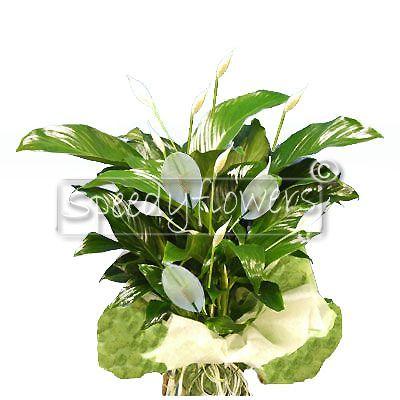 White spathiphillum plant
