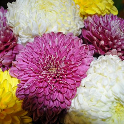 Bunch of Flowers Chrysanthemums flowers large