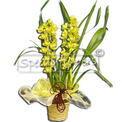 Vendita online orchidea cymbidium spedizione inviare - Orchidea da esterno cymbidium ...