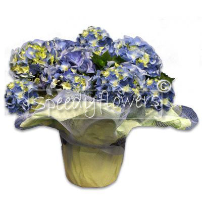 Flowering plant of Hydrangea Blue