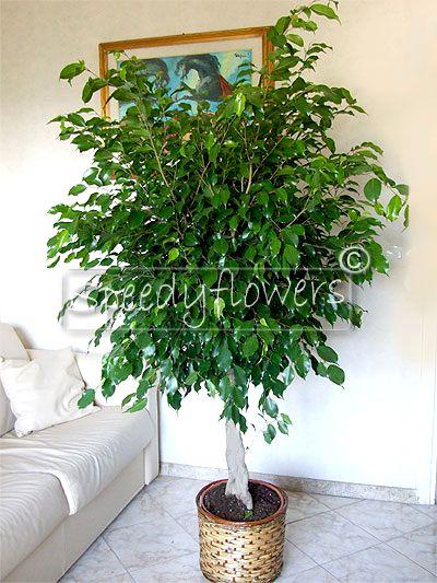 Benjamin's Fig plant
