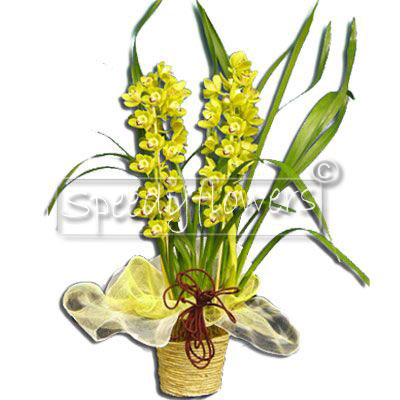 Cymbidium Orchid Plant Father's Day