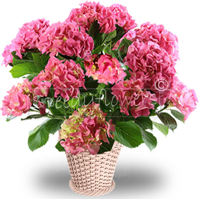 Send your special gift for Mother's Day with Speedy Flowers