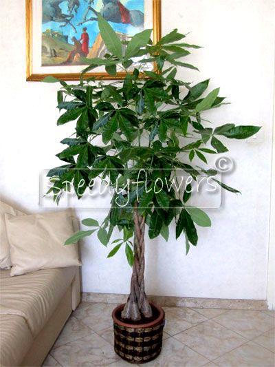 Pachira Aquatica Plant