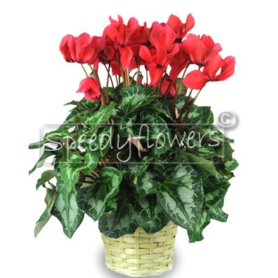 For the commemoration of the deceased sends this plant cyclamen