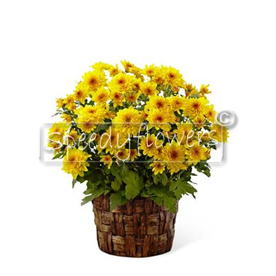 Plant chrysanthemums deceased