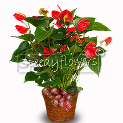 Choose to give this flowering anthurium plant