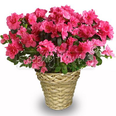 Flowering plant of azalea to give to your mother
