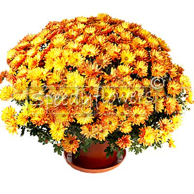 Pianta di crisantemo