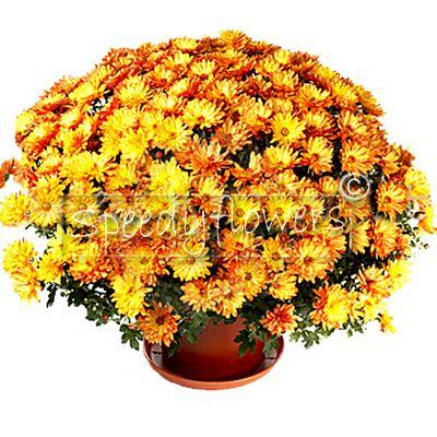 Plant chrysanthemums