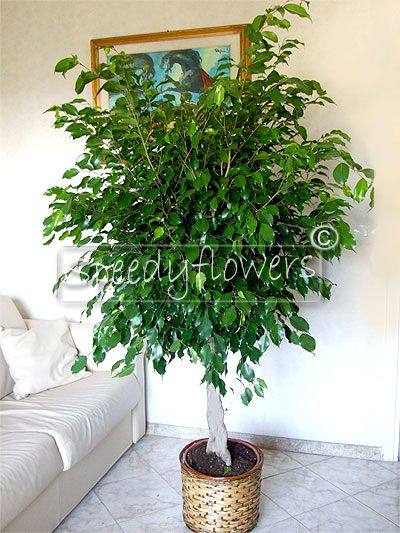 Ficus Benjamina delivery in Italy, Rome, Milan, Turin, Bologna, Naples