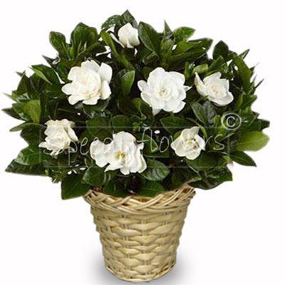 Fragrant gardenia plant.