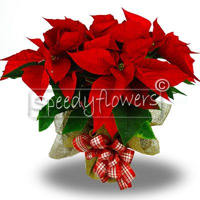 Buy for your loved ones a beautiful plant poinsettia